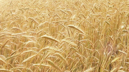 Rye Agriculture field - harvest time