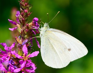Beautiful Cabbage white butterfly feeds the nectar.