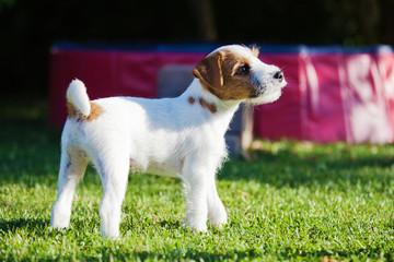 Parson Russell Terrier Welpe im Garten