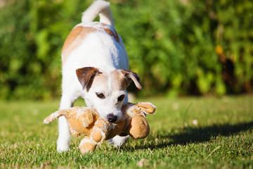 Parson Russell Terrier spielt mit Stofftier