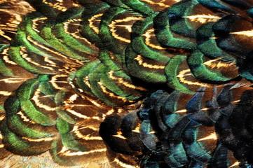 Kolorowe pióra bażanta