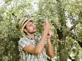 farmer is harvesting olives