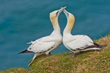 A pair of courting Gannets taken at Bempton RSPB reserve