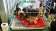 Cute Beagle puppies are playing and fighting in the cage
