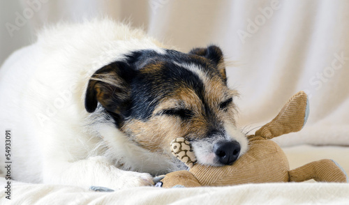 A sleeping Jack Russell Terrier with comforter toy