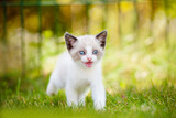 siamese kitten meowing outdoors poster