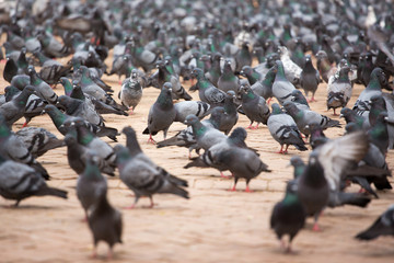 A group of pigeons in Kathmandu