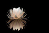 lotus flower on a black background