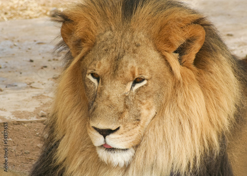 A Portrait of an African Lion Male