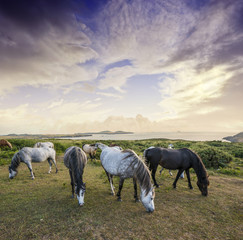 wild horses and sunset