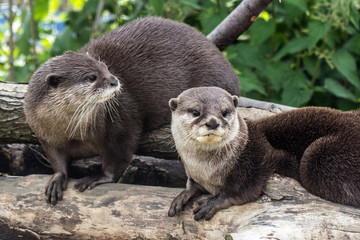 Two Otters Close Up