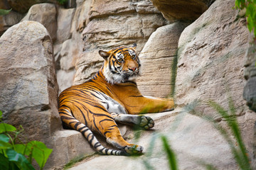 Beautiful  tiger crouching on a rock