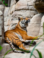 asian tiger on rock