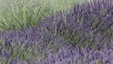 Background of swaying lavender flowers no audio
