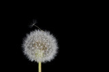 Dandelion Seed Working Free