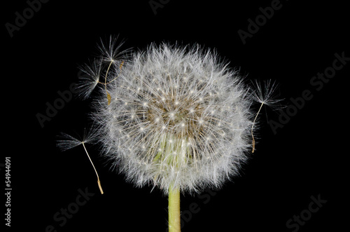 Entangled Dandelion Seeds