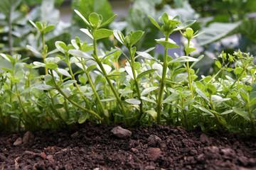 Portulak im Gemüsebeet