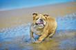 Active athletic dog english bulldog running at the sea