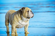 Funny dog english bulldog standing in the water