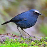 male White-browed Shortwing poster