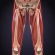 Постер, плакат: Upper Legs Muscles Anatomy