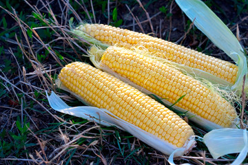 yellow maize corncob