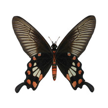 Rose Swallowtail Butterfly