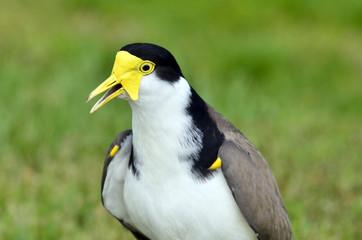 Birds - Masked Lapwing