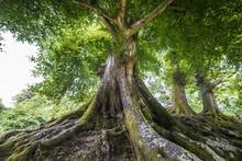 wielkie stare drzewo