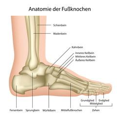 Anatomie des Fußgelenks ,des Sprunggelenks