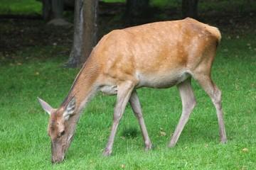 Deer female in Poland