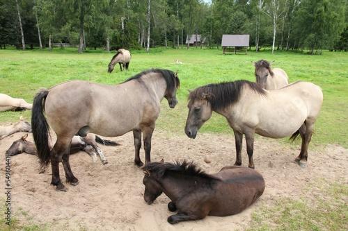 Horse herd in Bialowieza, Poland