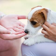 Kinderhände spielen mit Parson Russell Terrier Welpe