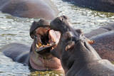 Male hippos fighting