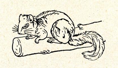 Edible dormouse (Glis glis)
