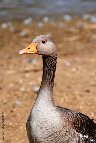 Greylag goose standing by the water