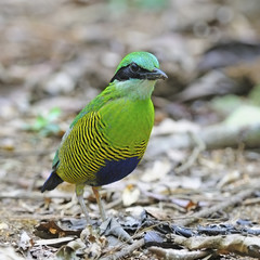 male Bar-bellied Pitta