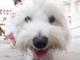 petit chien blanc