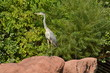 Grey Heron (ardea cinerea) exploring the landscape