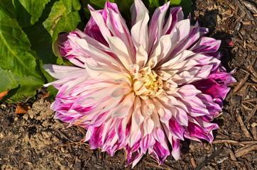 Colourful Dhalia