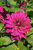 Colourful Dhalia
