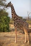Wild male reticulated giraffe poster