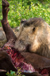 Male lion eating buffalo in nature hungry