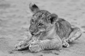 Cute lion cub playing on sand in the Kalahari artistic conversio