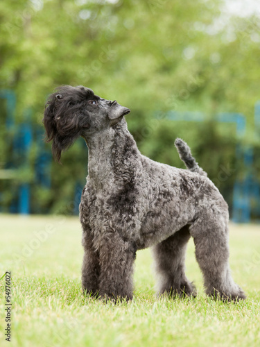 Portrait of purebred Kerry Blue Terrier dog on the green backgro
