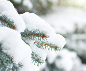 Branches of spruce is covered with snow