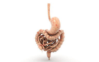 3d human digestive system in white background