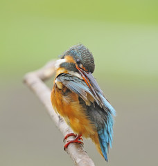 female Common Kingfisher