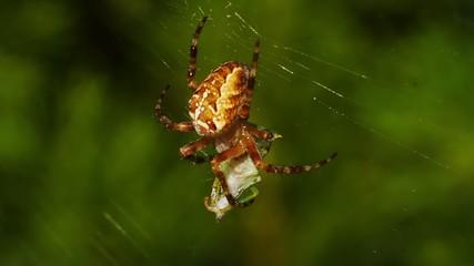 Spider bites its prey.