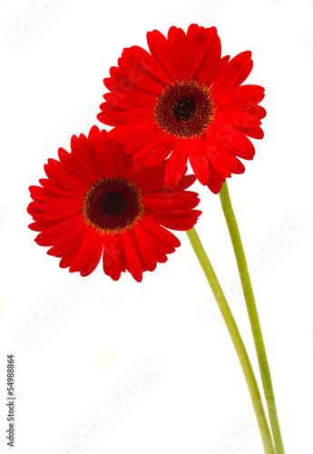 Spoed canvasdoek 2cm dik Gerbera two gerbera flowers